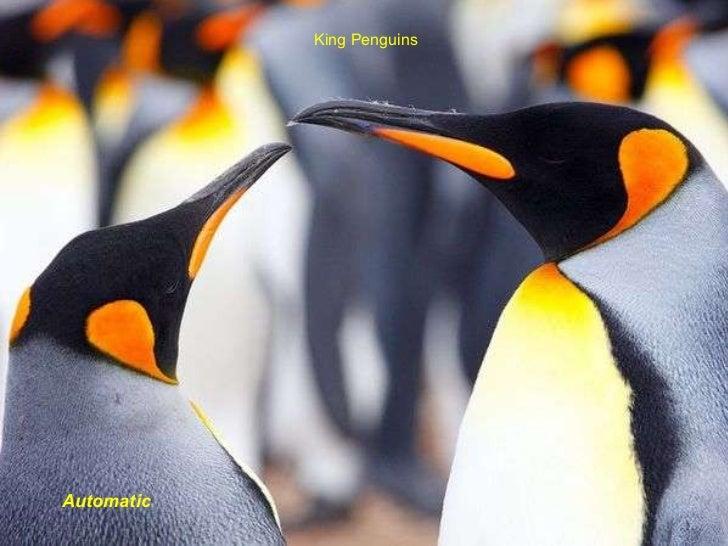 King Penguins Automatic