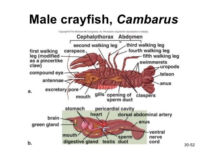 Diagram Of Male Crayfish - Circuit Connection Diagram •