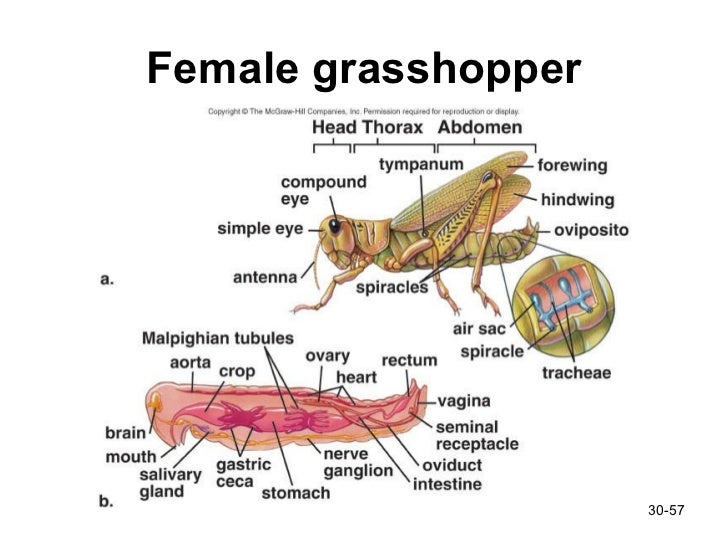 how to tell if a grasshopper is male or female