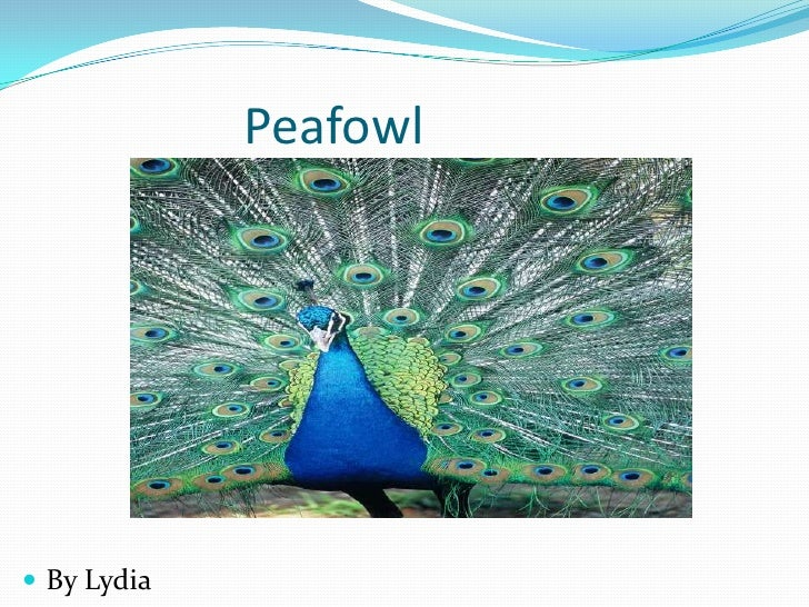 Peafowl<br />By Lydia<br />