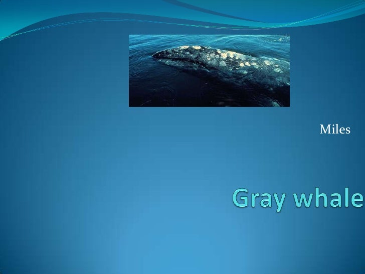 Miles<br />Gray whale<br />