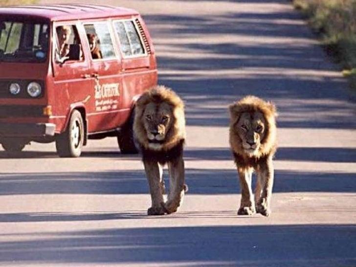 Animals vs cars (v.m.)