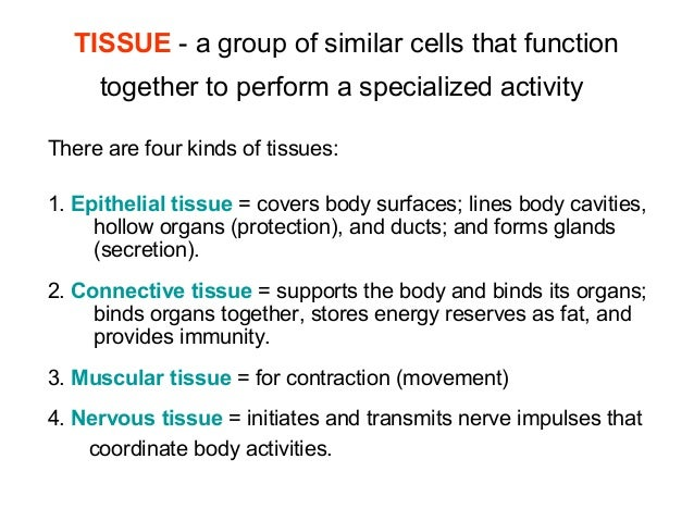animal tissues epithelial amp connective