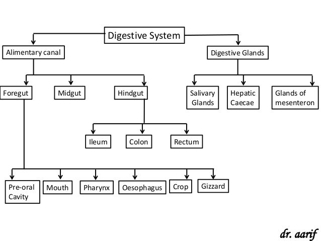 Flow chart of human digestive system class 10 edgrafik flow chart of human digestive system class 10 animal types cockroachrhslideshare ccuart Image collections