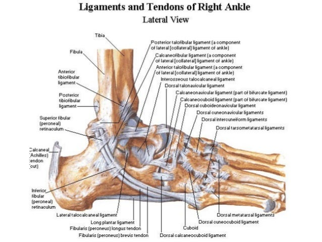 ankle, Human Body