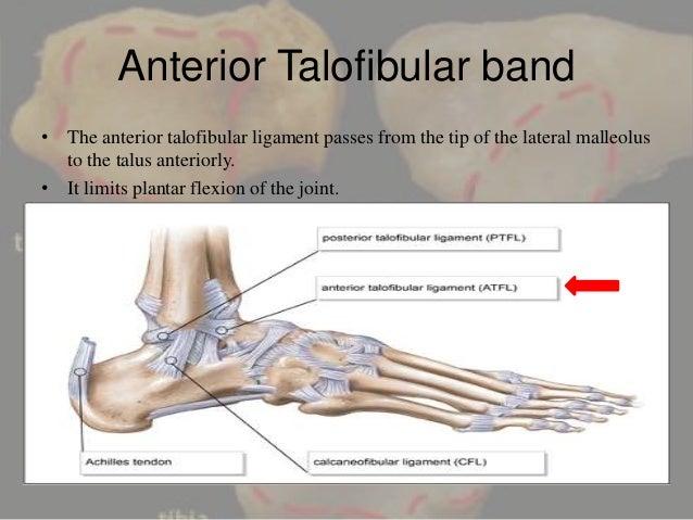 ankle joint, Cephalic Vein