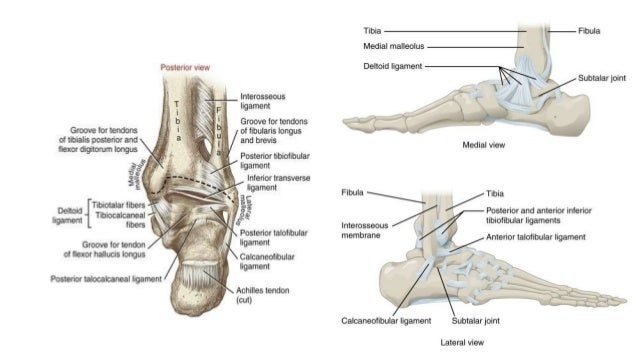 Ankle Joint Bones Of Foot