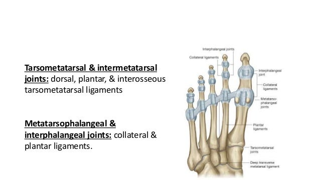 Ankle joint & bones of foot