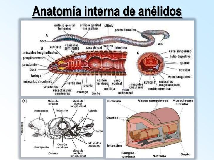 Anélidos - gusanos