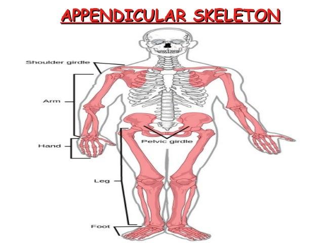 Skeletal System Pp For Kids