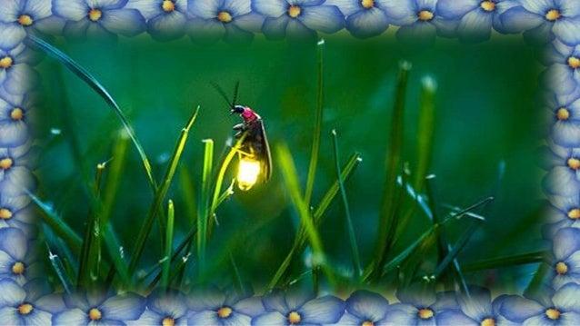 A noite canta nas notas do violino A melodia que se espalha pelo ar, E saltitante, inocente, pequenino, Voa entre as flore...
