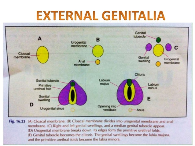 Anomalies of Female Reproductive System (Embryology-uterus ...