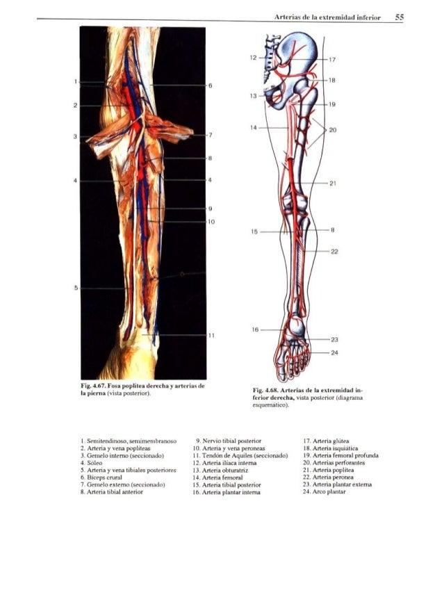 Magnífico Tibial Posterior Anatomía Del Tendón Inspiración ...