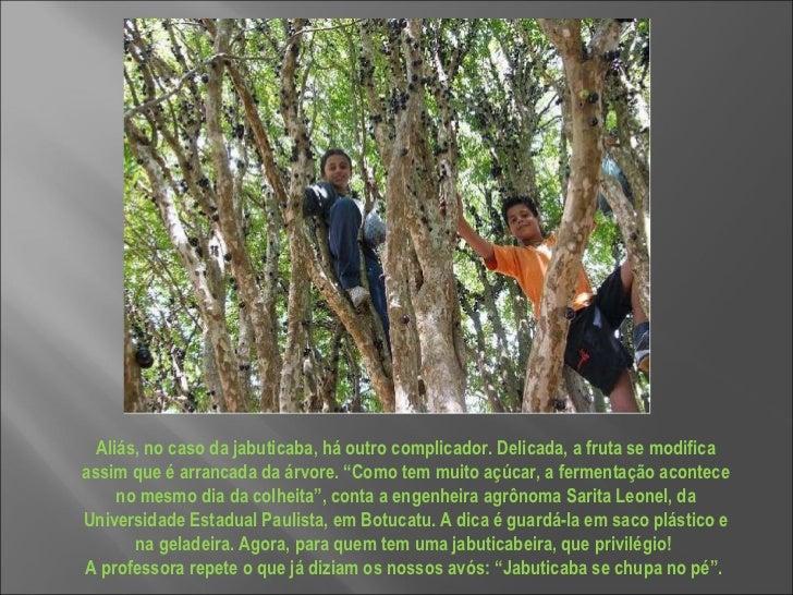 """Aliás, no caso da jabuticaba, há outro complicador. Delicada, a fruta se modifica assim que é arrancada da árvore. """"Como t..."""