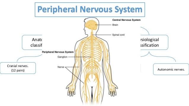 Autonomic Nervous System 1 Ans1