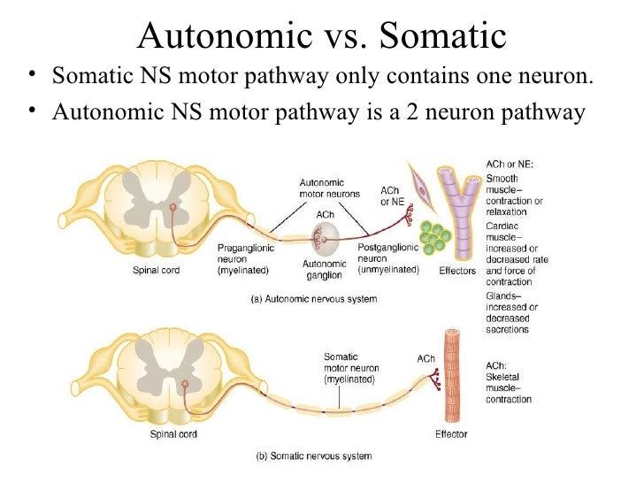 The Motor Pathways Of The Autonomic Nervous System ... | 728 x 546 jpeg 83kB