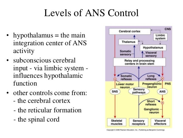 central nervous system, the autonomic nervous system, Human Body