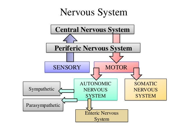 relationship between autonomic nervous system and central
