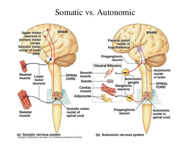 Central Nervous System, The Autonomic Nervous System | 638 x 479 jpeg 74kB