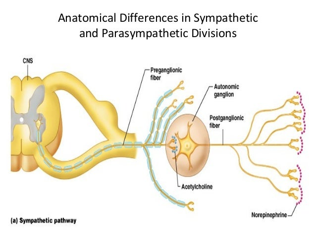 how to remember difference between sympathetic and parasympathetic
