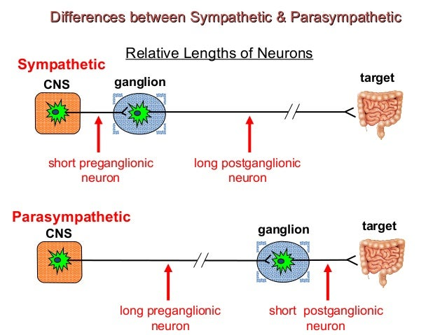 sympathetic parasympathetic The sympathetic nervous system (sns) is part of the autonomic nervous system (ans), which also includes the parasympathetic nervous system (pns) the sympathetic nervous system activates what is often termed the fight or flight response.