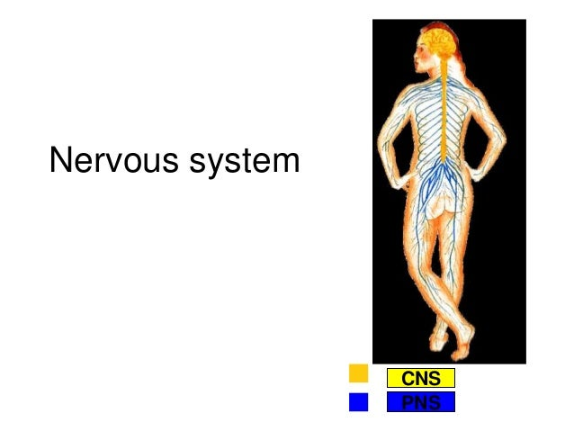 Nervous system Peripheral Nervous System CNS PNS