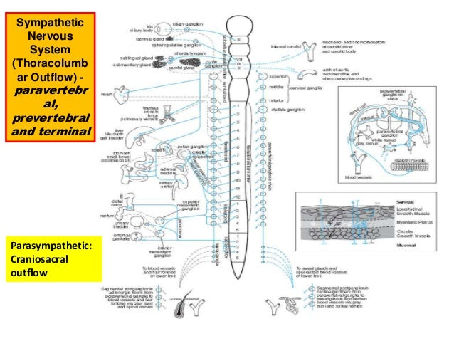 Autonomic nervous system pharmacology and cholinergics updated 2016 19 sympathetic nervous system ccuart Choice Image