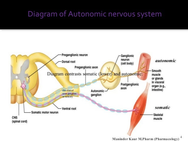 Autonomic nervous systems diagram john okeefe 4 diagram of autonomic nervous system 4 ccuart Gallery