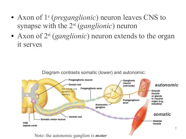 compare and contrast the two divisions of the autonomic nervous system the sympathetic and parasympa Study exercise 21: spinal cord, spinal nerves, and the autonomic nervous system flashcards taken from the book human anatomy & physiology laboratory manual.