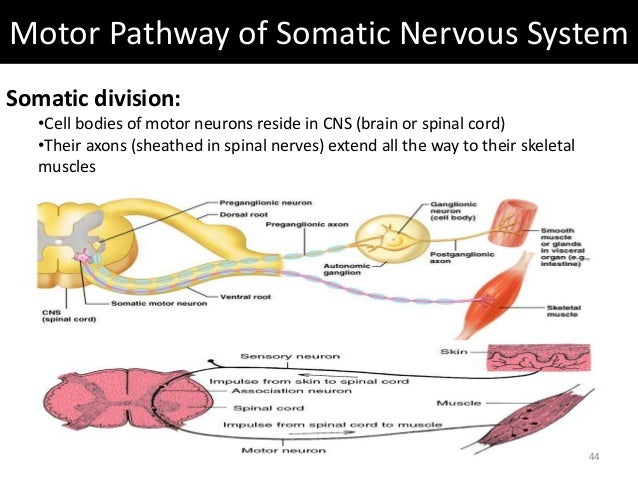 Autonomic somatic nervous systems 43 44 motor pathway of somatic nervous system ccuart Choice Image