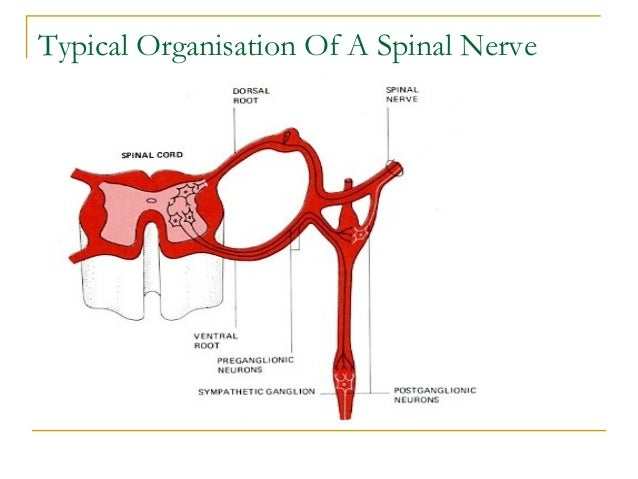 Typical Organisation Of A Spinal Nerve