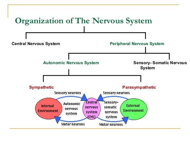 Organization of The Nervous SystemCentral Nervous System Peripheral Nervous SystemSensory- Somatic NervousSystemAutonomic ...