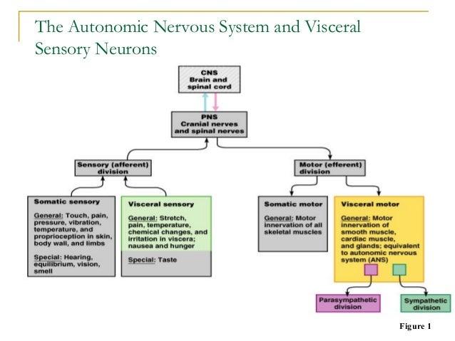 The Autonomic Nervous System and VisceralSensory NeuronsFigure 1