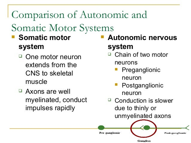 Comparison of Autonomic andSomatic Motor Systems Somatic motorsystem One motor neuronextends from theCNS to skeletalmusc...
