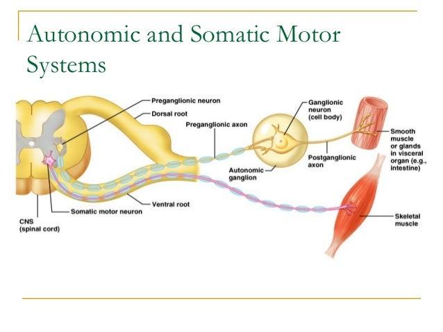 Autonomic and Somatic MotorSystems