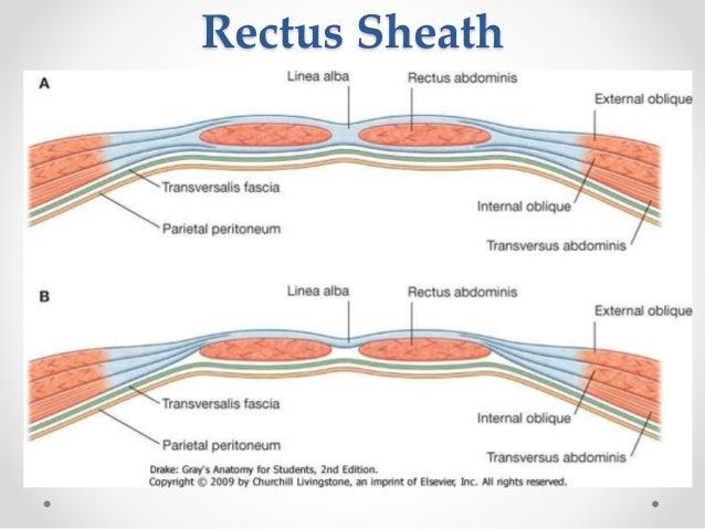Surgical anatomy of anterior abdominal wall rectus abdominis pyramidalis 15 ccuart Gallery