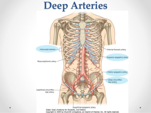 Surgical anatomy of anterior abdominal wall superficial arteries 26 ccuart Image collections