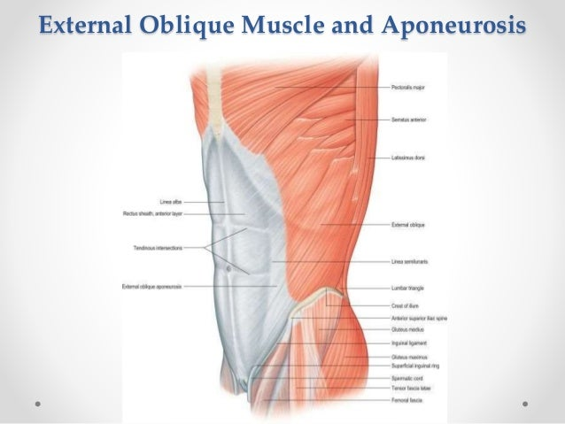 Surgical Anatomy of anterior abdominal wall