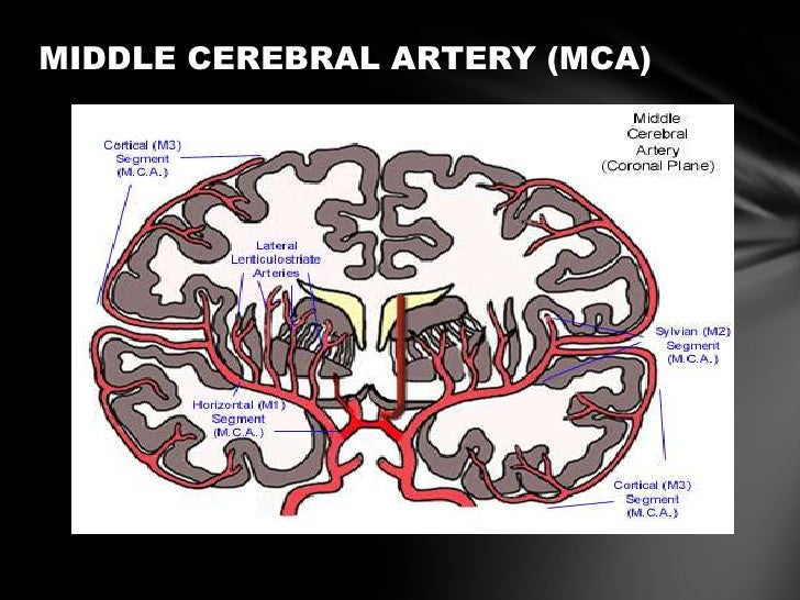 Anterior Cerebral Circulation