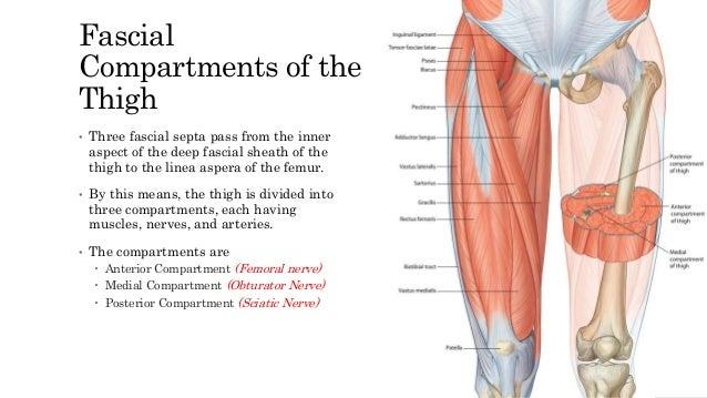Anterior cmpartment of thigh nerve 3 muscles sartorius ccuart Image collections