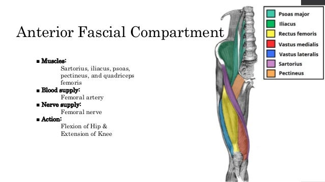 anterior cmpartment of thigh, Muscles
