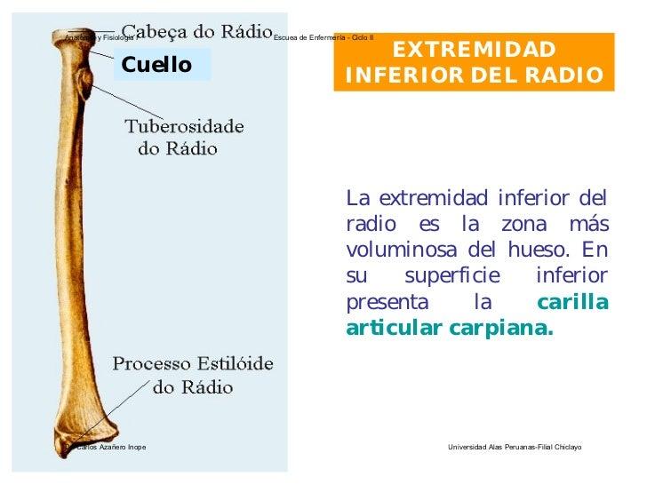 Encantador Cuál Es El Hueso Del Radio Molde - Anatomía de Las ...