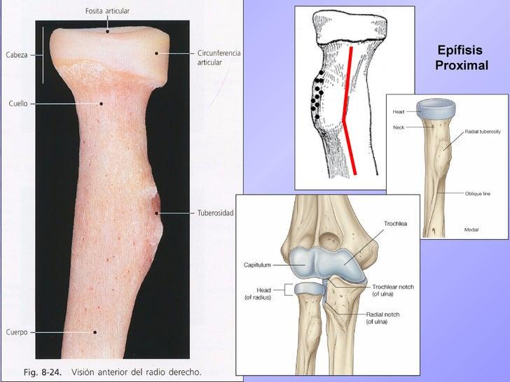 antebrazo osteologia codo