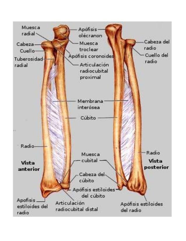Antebrazo y mano