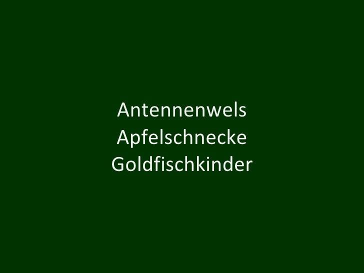 Antennenwels Apfelschnecke Goldfischkinder