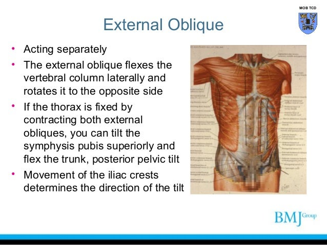Anatomy Of Anterior Abdominal Muscles