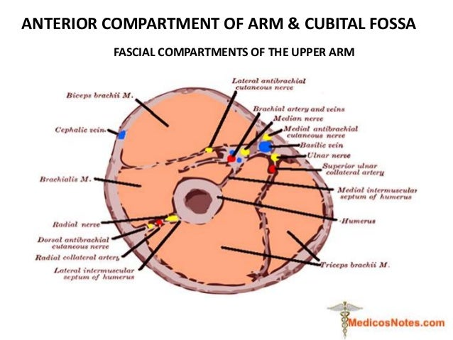 ANTERIOR COMPARTMENT OF ARM & CUBITAL FOSSA FASCIAL COMPARTMENTS OF THE UPPER ARM
