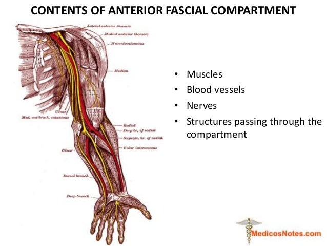 Anterior Compartment Of Cubital Fossa And Arm Medicos Notes