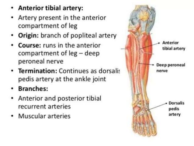 Anterior & postetior tibial artery