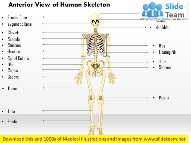 Anterior View Of The Human Skeleton Medical Images For Power Point